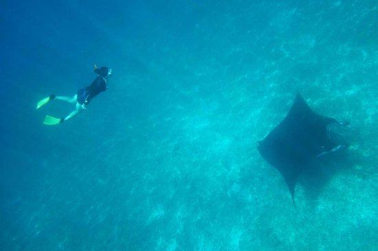 Komodo Aqua Diving : Your dream also come true here. Swimming with Manta Ray