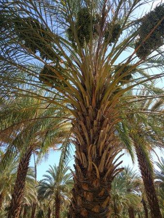 Tecopa, CA: Date tree