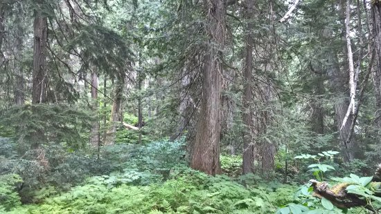 Giant Cedars Boardwalk Trail: Blick in den dichten Wald
