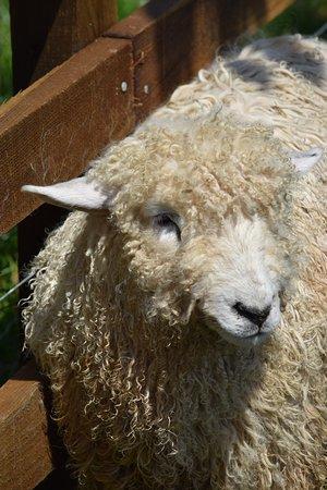 St Austell, UK: Sheep
