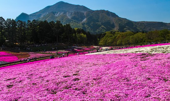 Hitsujiyama Park: Pink Moss with Mountain on the backdrop early May