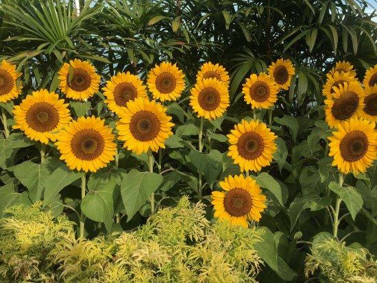 5f2aa00f40594c Sunflowers - Picture of Sunflower Garden, Singapore - TripAdvisor