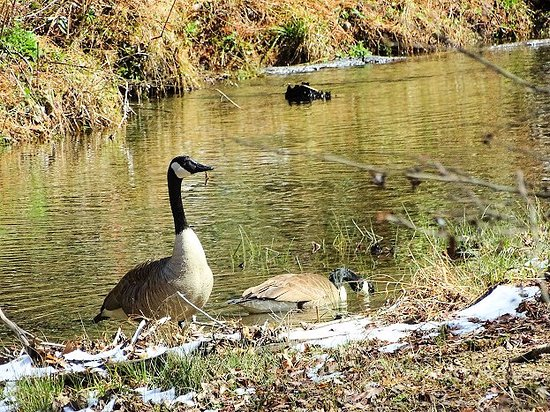 Bent Creek Experimental Forest: friendly geese along trail