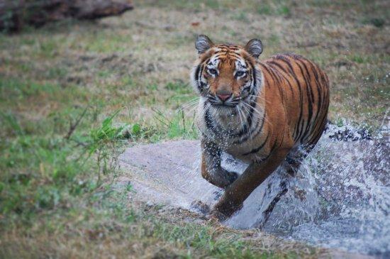 Moseley, VA: Bengal Tiger