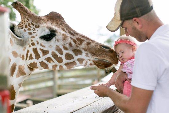 Moseley, VA: Guests Hand Feeding the Giraffes