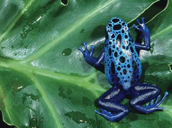Moseley, VA: Poison Dark Frogs