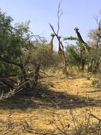 ทาบาซิมบิ, แอฟริกาใต้: Spotting Giraffes