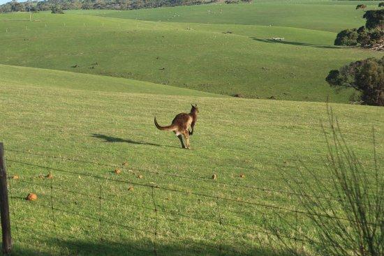 Kingscote, Australien: Kangaroo spotting