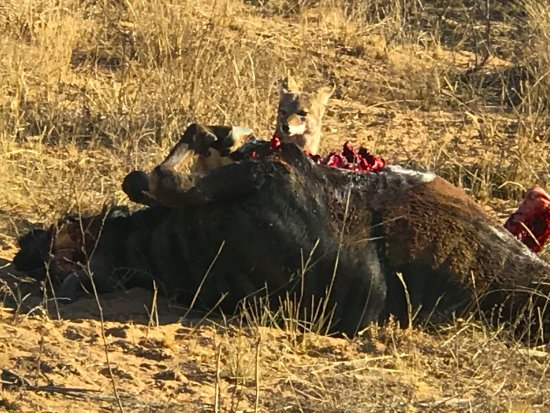 ทาบาซิมบิ, แอฟริกาใต้: The Kill outside our room