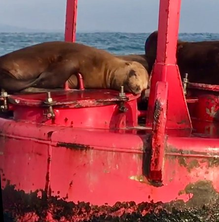 Right Outside of DANA POINT HARBOR, CA, 😴💤Sea Lions on the Buoy!