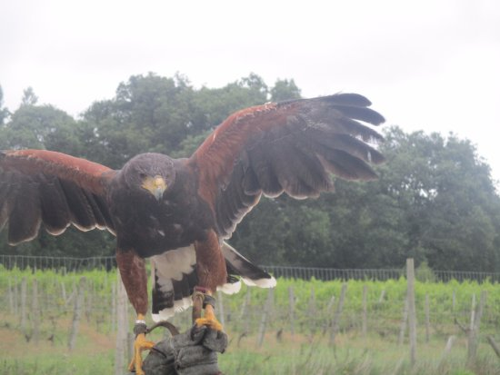 Groombridge, UK: Harris' Hawk