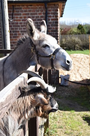 Sharnfold Farm: Bud the donkey and goat mate