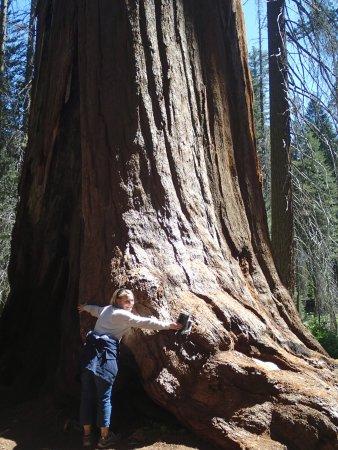 Three Rivers, CA: Giant Sequoia!