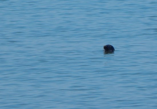 Port George, Canadá: A seal bobbing up and down just off shore from the picnic park