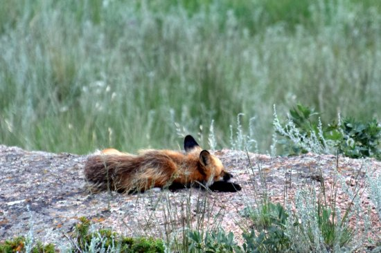 Divide, CO: Fox sleeping on top of his den.