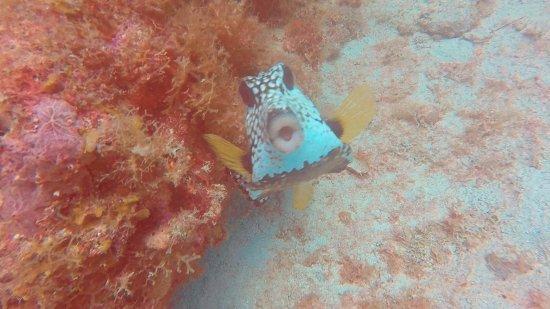 Culebra Divers: Pufferfish poser