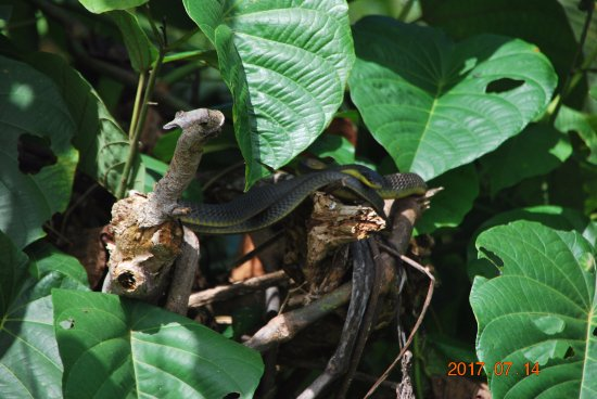 tree snake on the daintree river picture of daintree. Black Bedroom Furniture Sets. Home Design Ideas