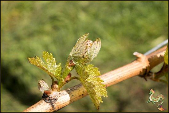 Саммерлэнд, Канада: Bud Break in Early Spring