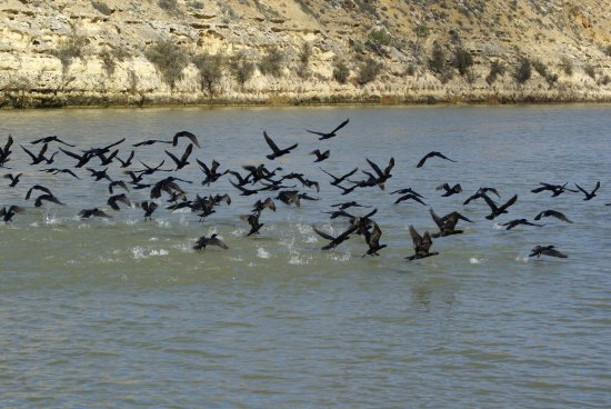 Morgan, Australia: Little Black Cormorant's feeding