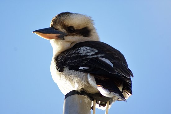 Morgan, Australia: MV Barrangul's mast seems a nice spot for Kookaburra