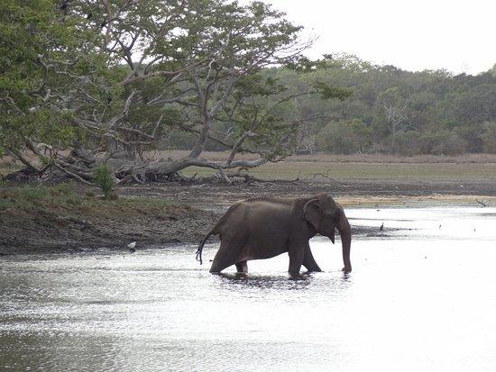Wilpattu National Park: Elefant der skal have lidt morgenmad