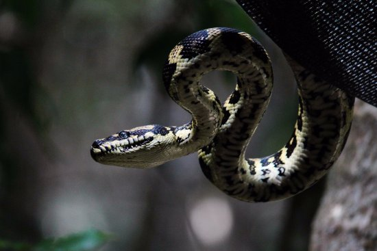 Crater Lakes Rainforest Cottages: An amethystine python which was sunning itself on our roof