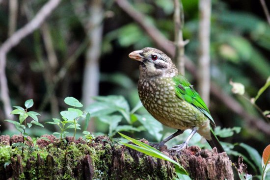 Crater Lakes Rainforest Cottages: Cat bird - we heard their really unusual meeeooww call, each morningl
