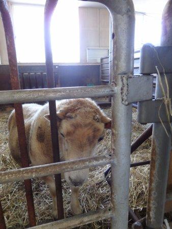 World Sheep Museum: お気に入りのシェットランド