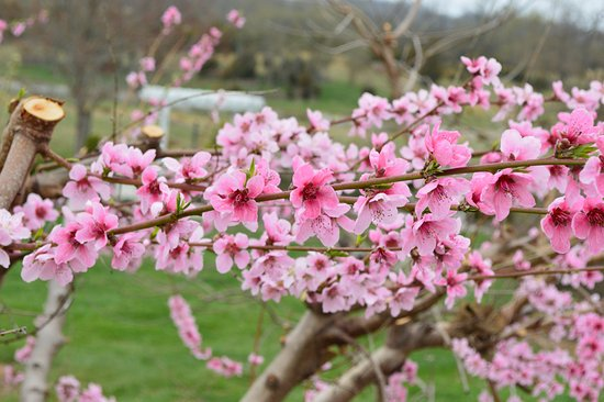 Boyce, VA: Cherry blossoms along the grounds