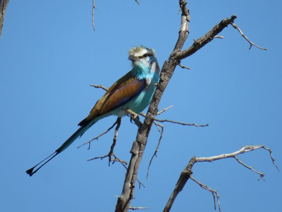 Rundu, Namibië: Racket-tailed Roller seen on the specialised guided woodland excursion
