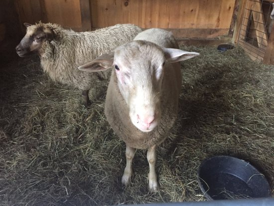 Hartland, VT: Fat sheep