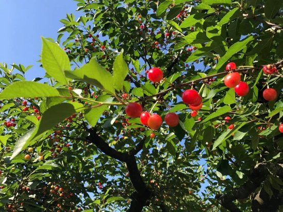 Boyce, VA: Cherries from our orchard