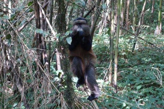 Nkuringo Bwindi Gorilla Lodge: Golden Monkey