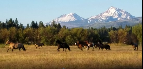 Sisters, OR: Horses coming in for work in the morning at Black Butte Ranch
