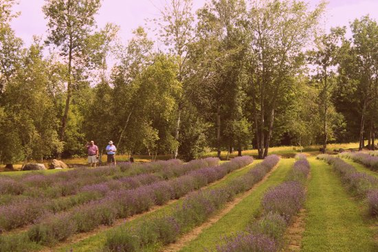 Stanstead, Canada: Lavender Fields in July
