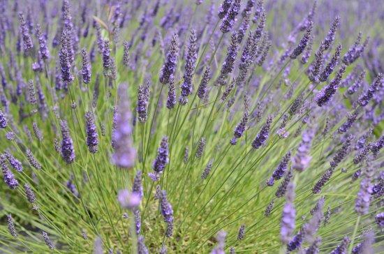 Inch, Irlandia: lavender farm