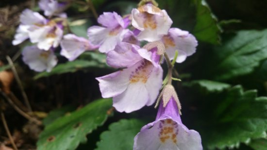 Yagodina, Bulgaria: The Haberlea rhodopensis