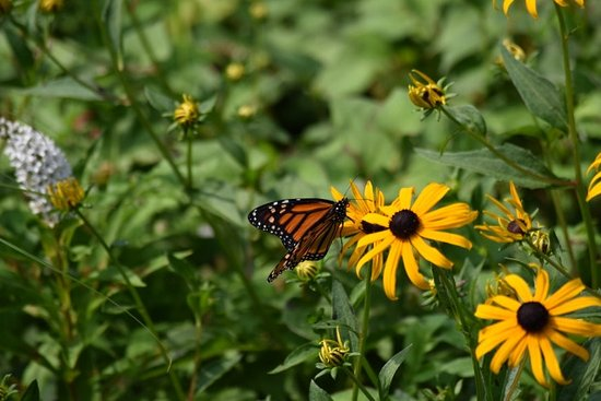 Wallkill, NY: Butterfly in the Black-eyed Susans