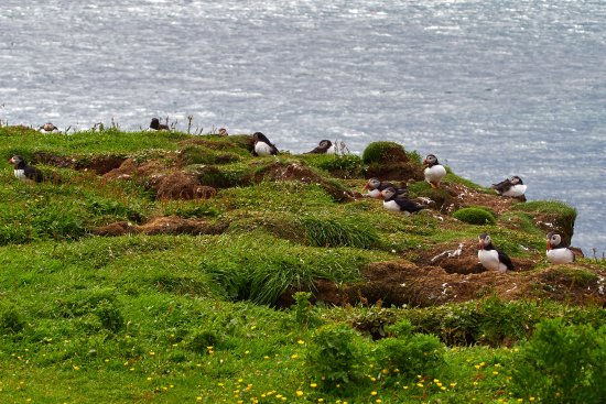 Dervaig, UK: puffin colony on Lunga