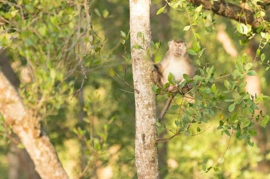 Abai Jungle Lodge: Long Tailed Macaque