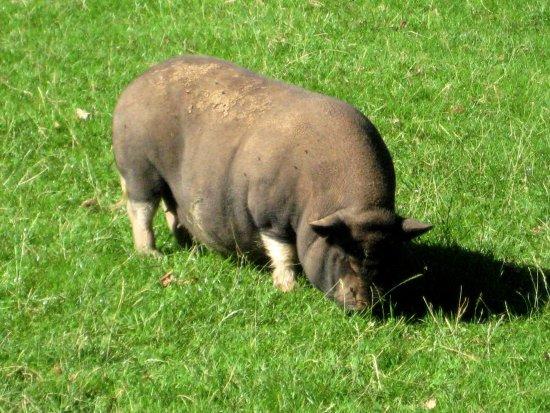 Freisen, Tyskland: Ein Hängebauchschwein