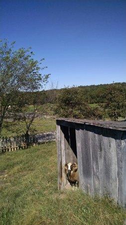 Bakersville Pioneer Village: Livestock