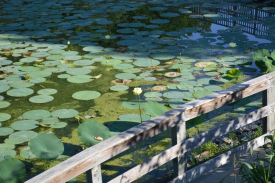 Morrison, IL: Lilypads in still water area