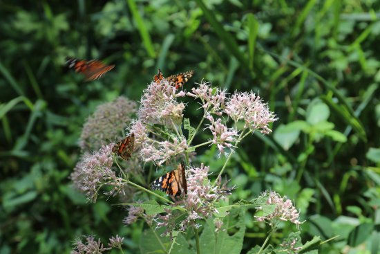 Shubert, NE: Butterflies of Indian Cave State Park, August 2017