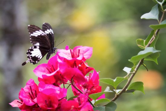 Abai Jungle Lodge : I also forgot to mention the butterflies there.....