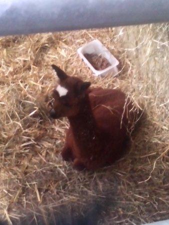 Bolton, UK: baby alpaca