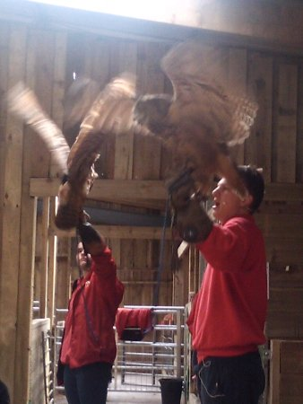 Bolton, UK: European eagle owls