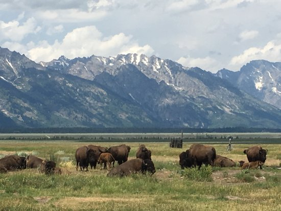 Kelly, WY: Grazing bison