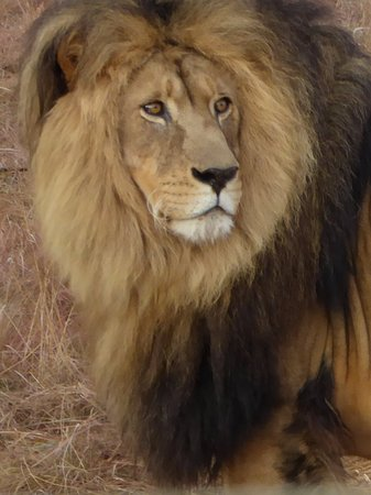 Hekpoort, África do Sul: The Male of the pride