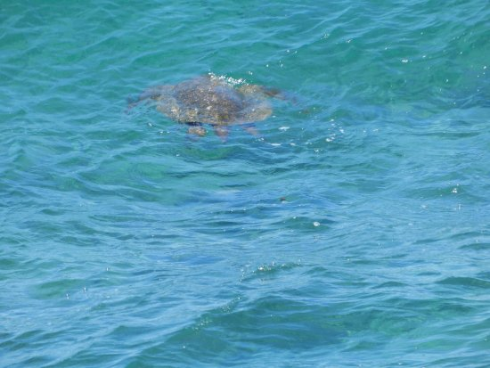 Kuhio Shores Condos: You can see turtles from the lanai!!